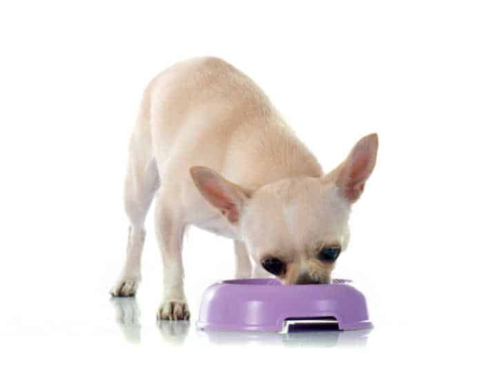 fawn chihuahua eating from purple dog bowl