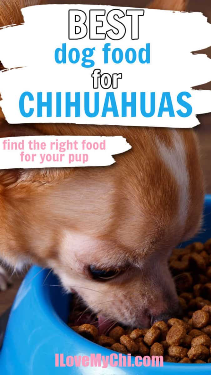 chihuahua eating from blue dog bowl