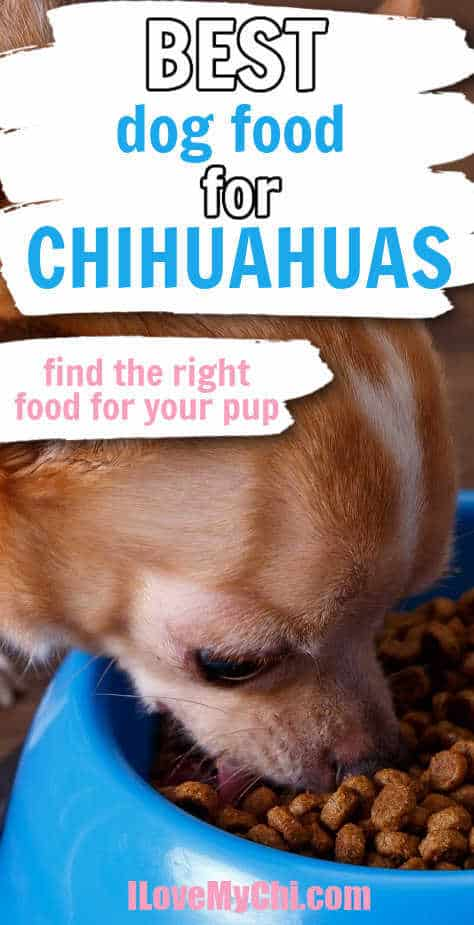 chihuahua eating out of blue dog bowl