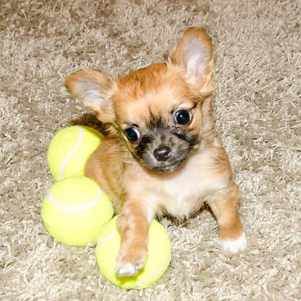 cute chihuahua puppy sitting with 3 balls