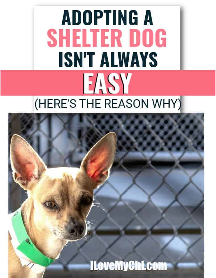 chihuahua in shelter