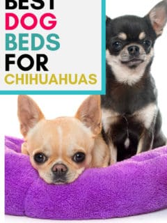 2 chihuahuas in purple dog bed