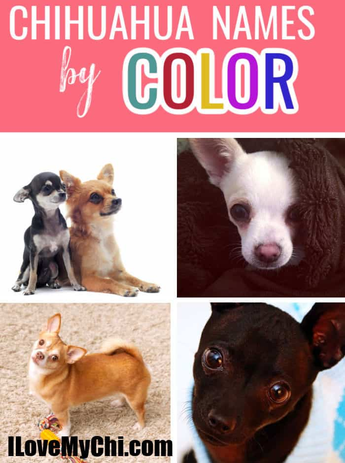 various chihuahuas of different colors