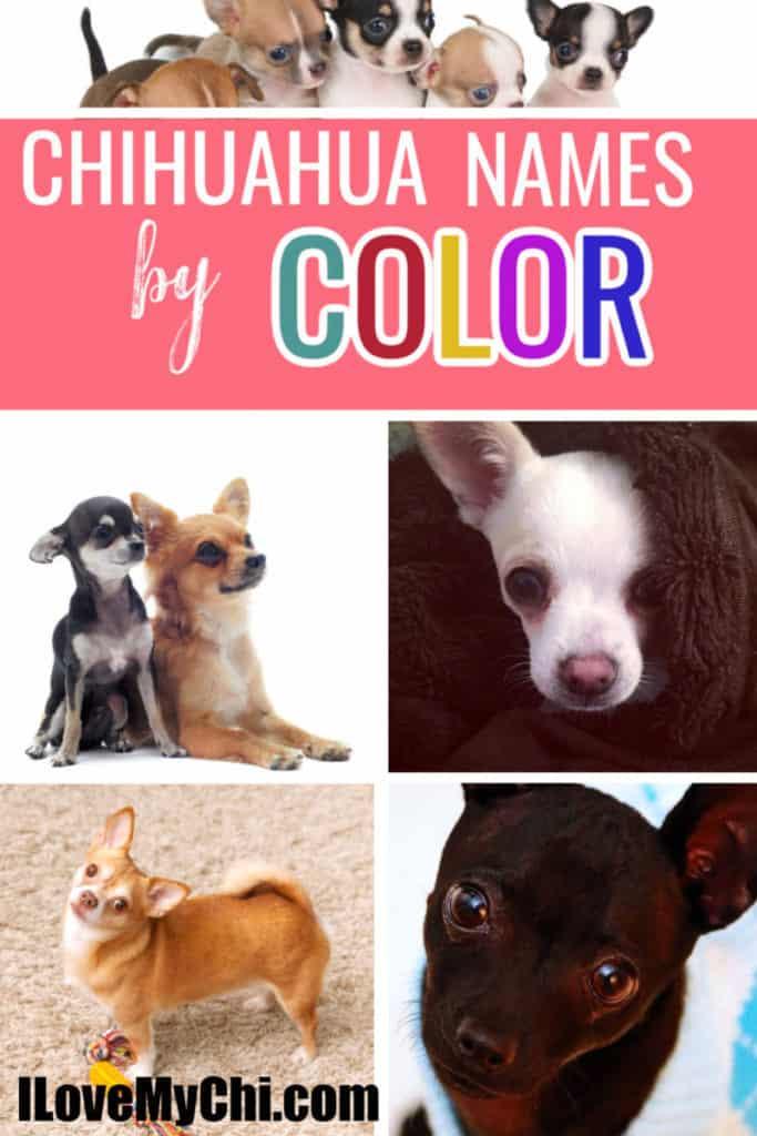 various colored chihuahuas