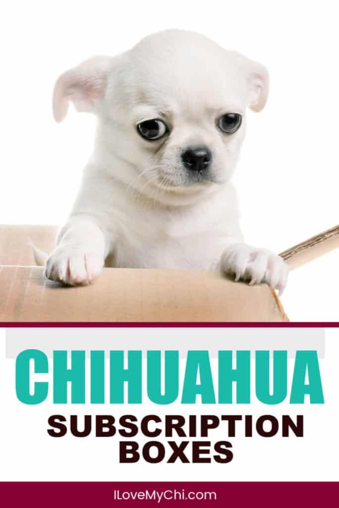 white chihuahua in cardboard box