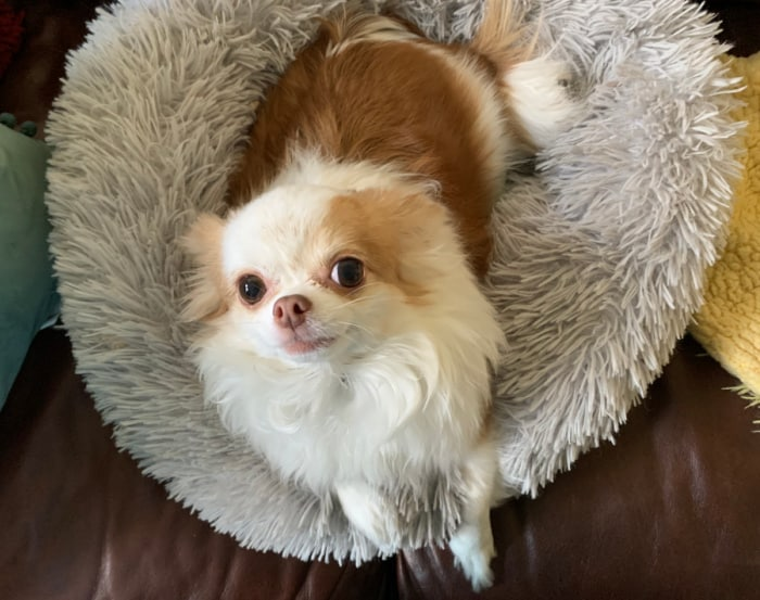 Chihuahua in donut bed