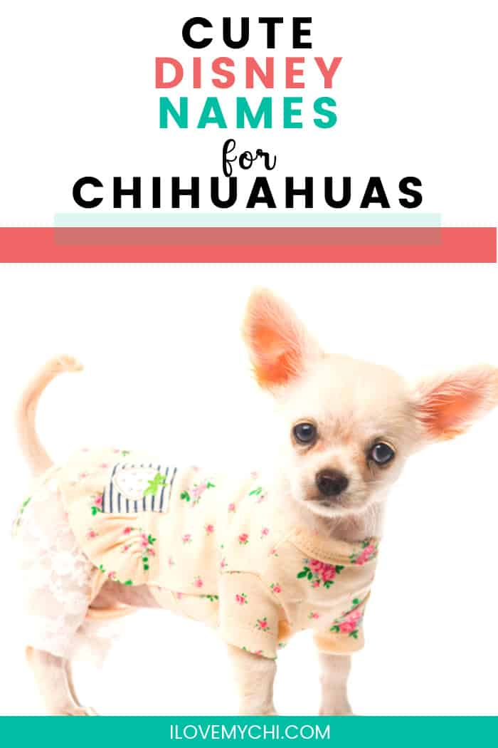 chihuahua puppy in cute outfit