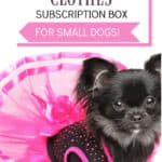 black chihuahua in pink dress