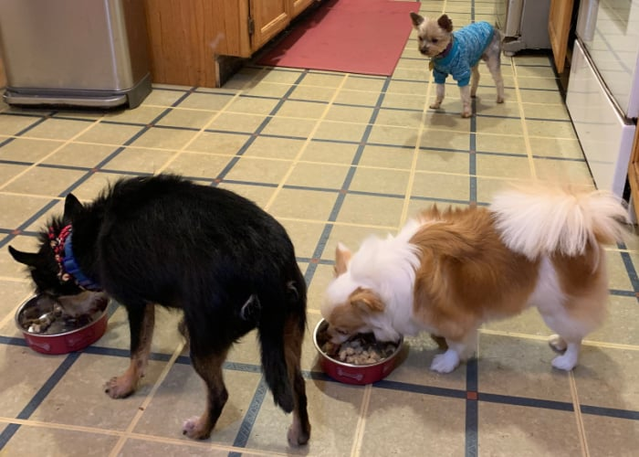 2 small dogs eating from dog bowls and 1 dog watching them