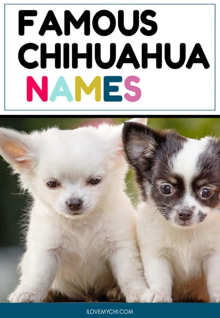 2 chihuahua puppies