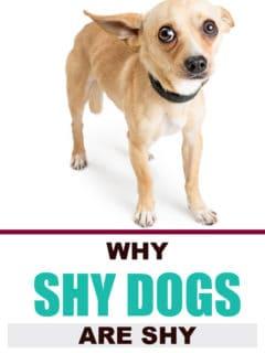 shy fawn chihuahua dog