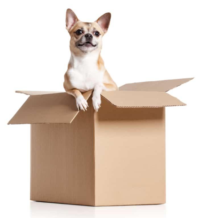 chihuahua in cardboard box