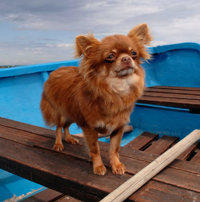 red chi in blue boat