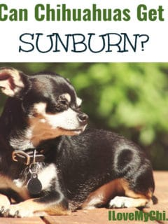 black chihuahua sitting outside in sun