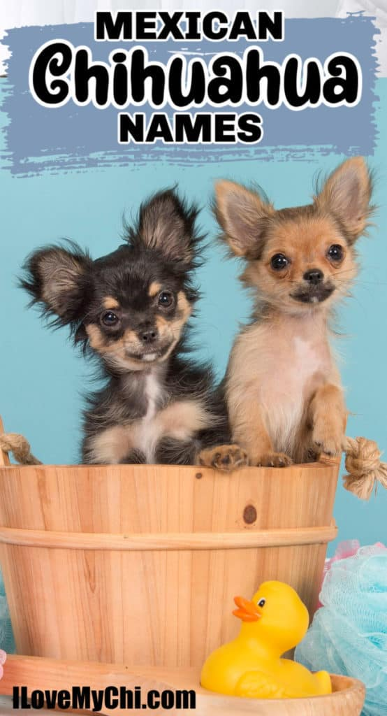 2 chihuahua puppies in a basket