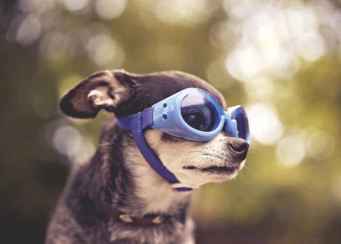 chihuahua wearing doggles