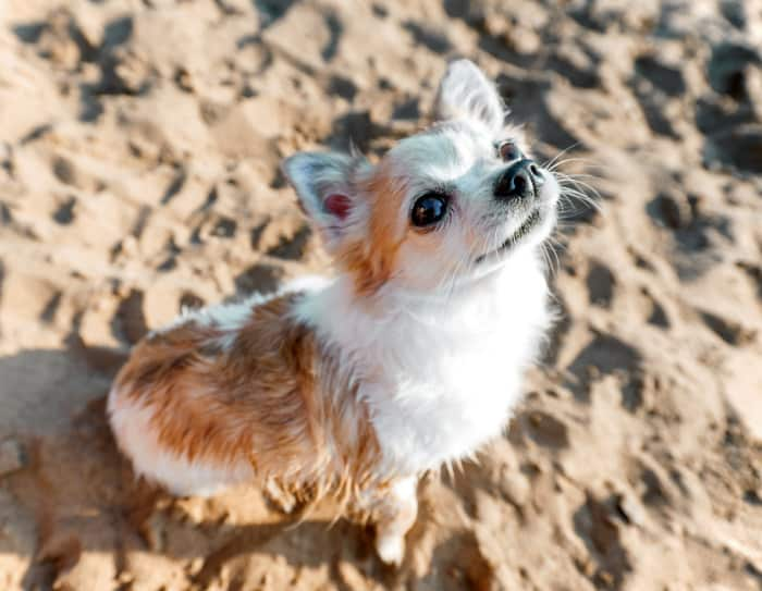 fawn and white chihuahua looking up in sand outside