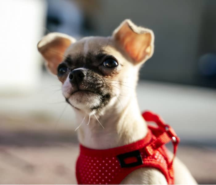 fawn chihuahua puppy with red harness