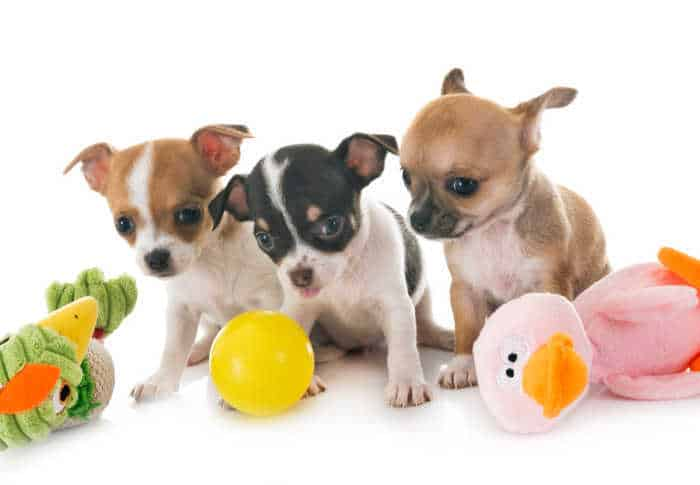 3 small chihuahua puppies with dog toys