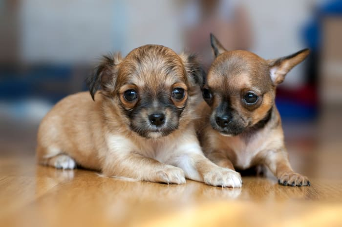 Two small Chihuahua puppies lying on floor