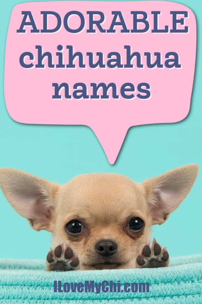 fawn colored chihuahua puppy