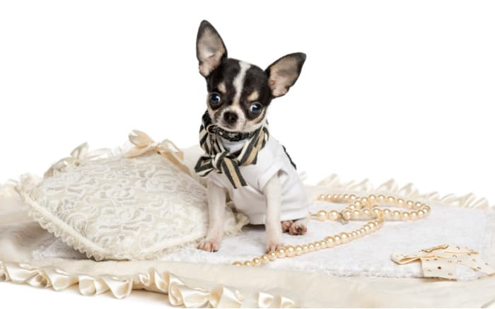 dressed black and white chihuahua by pillow