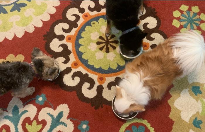 3 dogs eating dog food in dog bowls on red patterned rug
