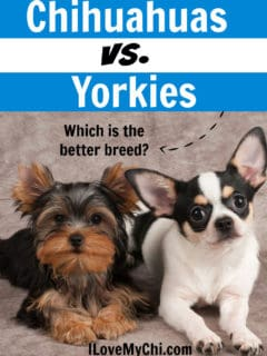 A Yorkshire terrier and chihuahua laying side by side