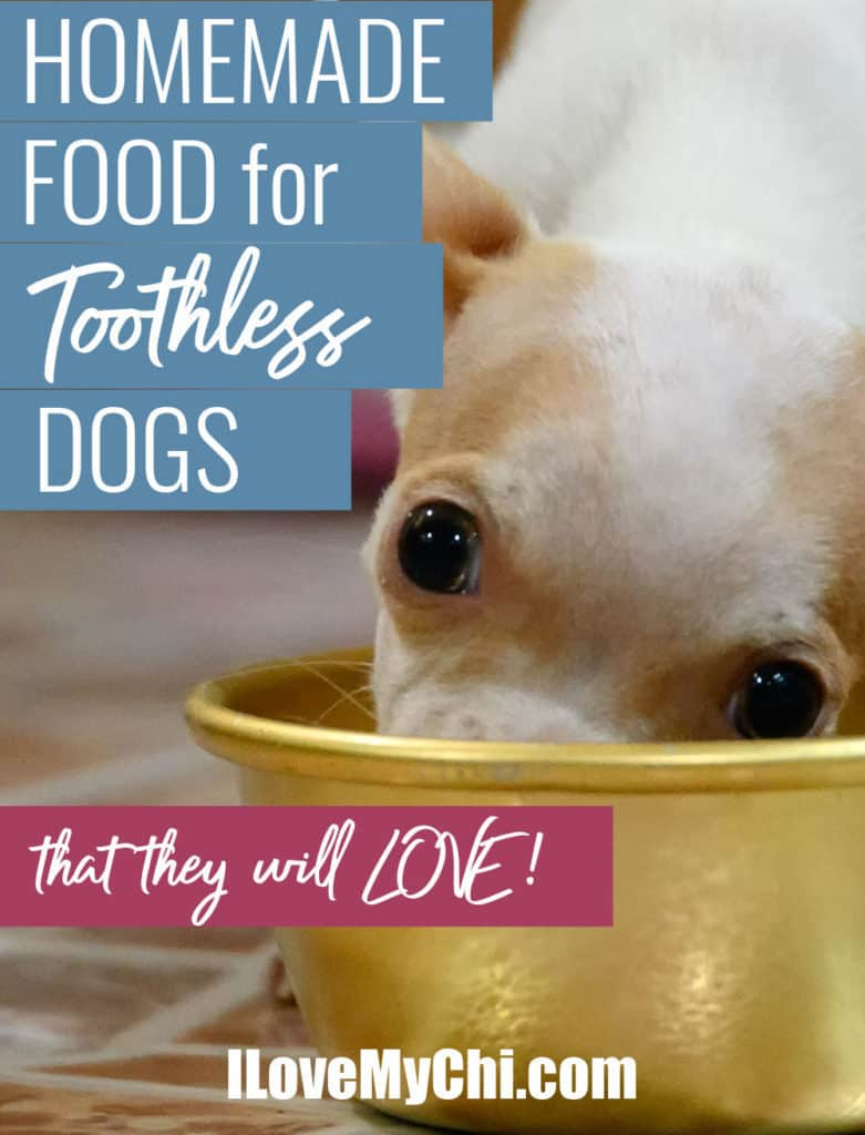 white and fawn chihuahua eating from yellow dog bowl