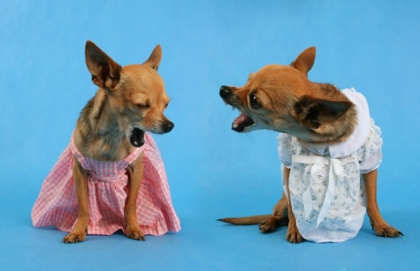 2 chihuahua dogs in dresses barking at each other