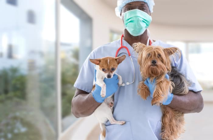 masked veterinarian holding chihuahua and yorkie