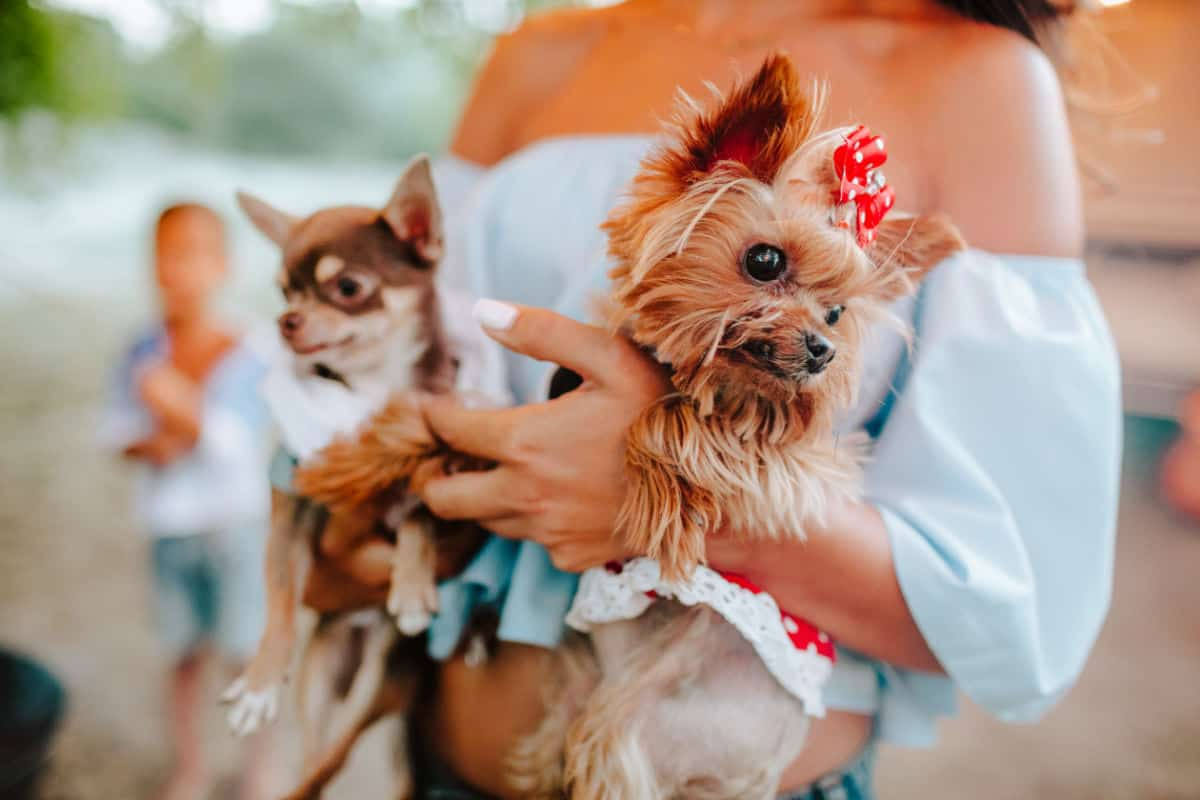 woman holding a chihuahua and yorkie 1200