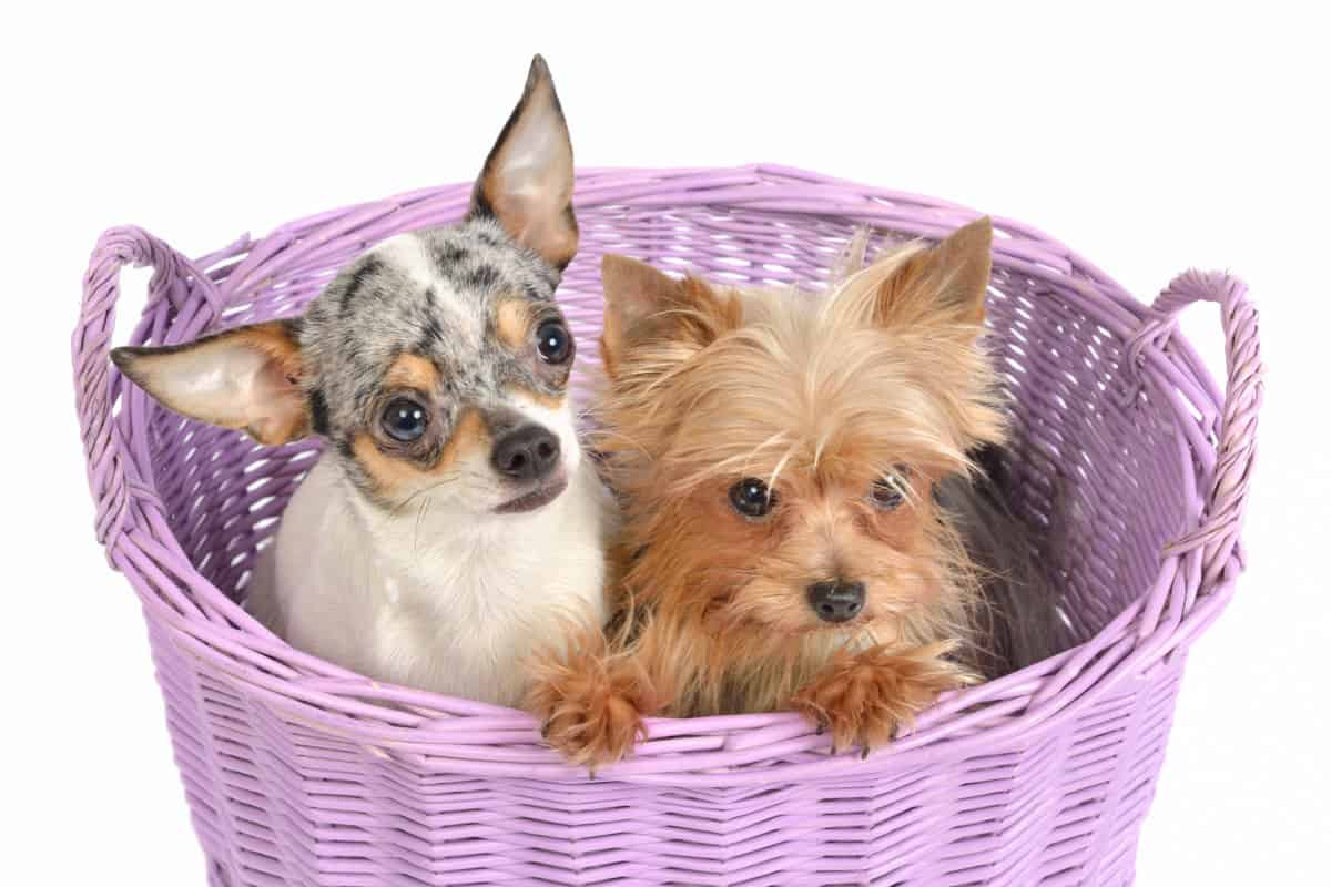 yorkie and chihuahua in basket