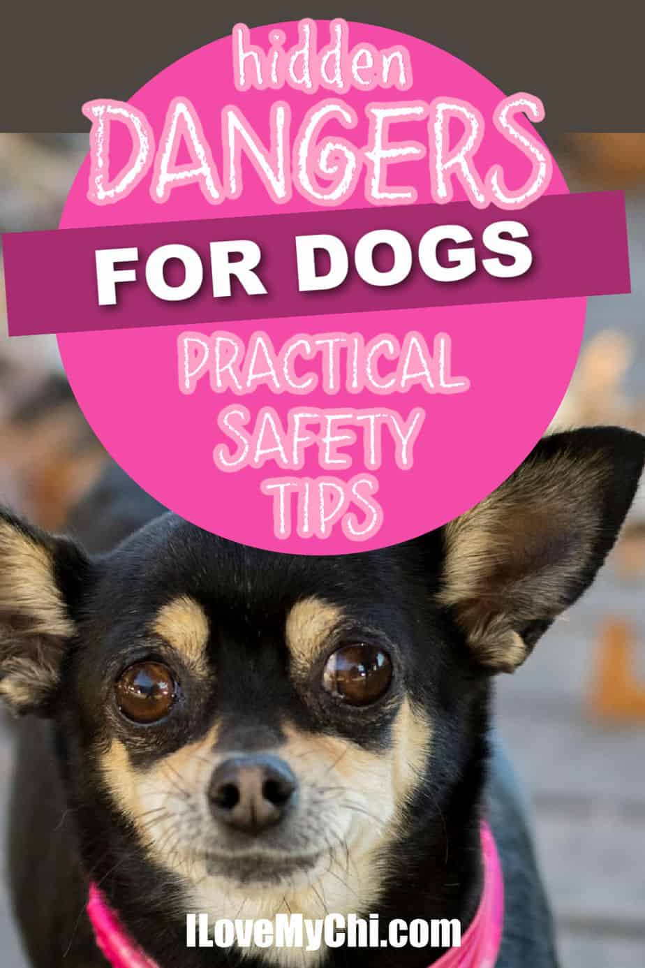 black and tan chihuahua with pink collar