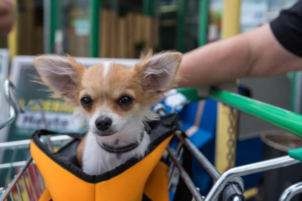 chihuahua in shopping cart