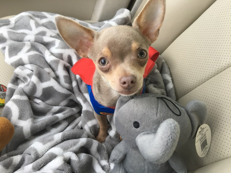 chihuahua with toy looking up