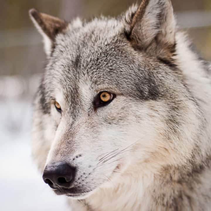 closeup of wolf face